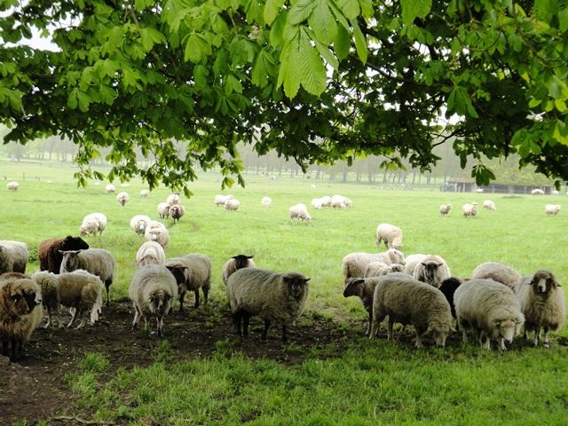 Sheep%20when%20leaving%20Marie%20Antoinettes%20Hamlet4.jpg
