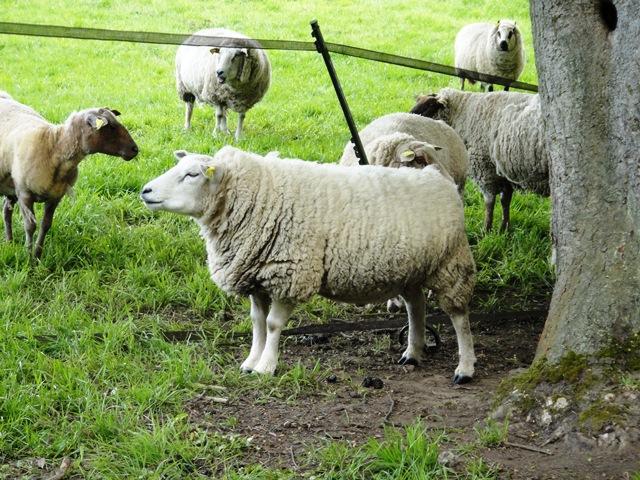 Sheep%20when%20leaving%20Marie%20Antoinettes%20Hamlet7.jpg